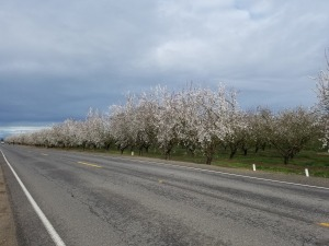 almond-blossoms-as-promised