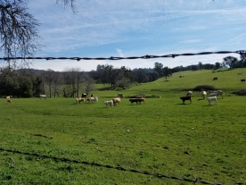 cows in barbed wire